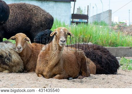 Many Rams And Sheep Lie On The Ground