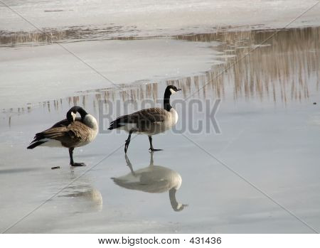 a pair of canada geese ambling on a frozen lake in late winter. poster