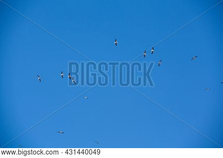 Migration Of Common Cranes From Wintering. Birds Flying In Blue Sky On Spring Day.