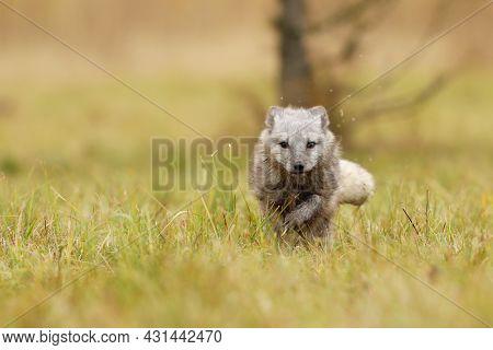Arctic Fox, Vulpes Lagopus, Cute Animal Portrait In The Nature Habitat, Grass Meadow.  Polar Fox In