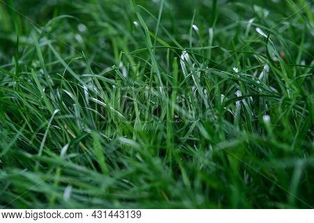 Green Fluffy Grass. The Texture Of The Green Not Mowed Lawn. It\'s Time To Mow The Grass.