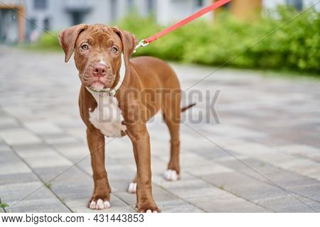 Horizontal Of American Shorthaired Brown Pitbull Terrier On Leash Standing And Looking At Camera Out