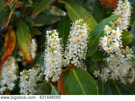 Flowering Prunus Laurocerasus Shrub With White Small Flowers Close Up.