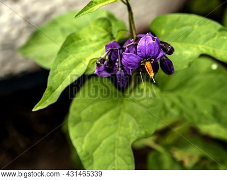 Flowers Of Nightshade Growing In The Forest