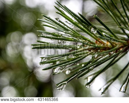 Clean Shiny Raindrops On Pine Needles In The Forest