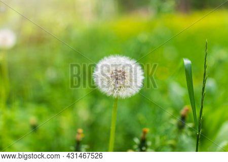 Blowball Of Taraxacum Plant On Long Stem. Blowing Dandelion Clock Of White Seeds On Blurry Green Bac