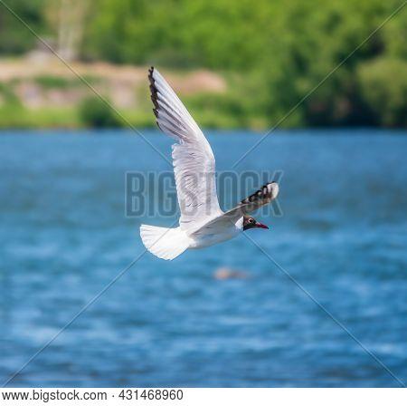 Beautiful Black Headed Gull, In Elegant Flight Over Blue Water