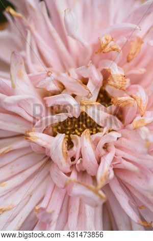 Close-up Of A Bud Of A Fading Peony-shaped Aster.