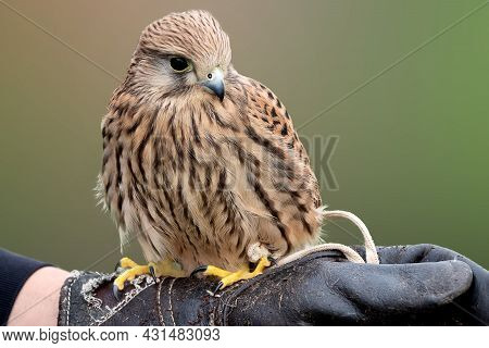 Young Falcon Training For Falconry Sits Perched On The Trainer's Gloved Hand
