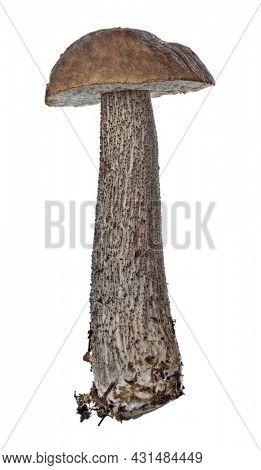 birch bolete isolated on white background