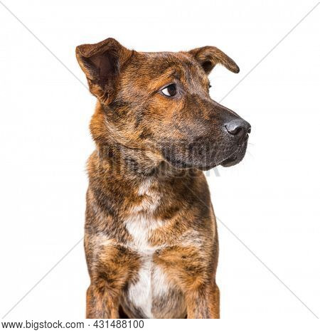 Brown Mixed breed dog looking away, banner, isolated on white