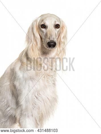 Head shot of a Grey Saluki dog, isolated