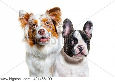 Head shot of a two dogs, puppy french bulldog and australian shepherd dog, looking at camera, facing, isolated on white