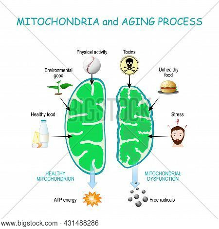 Mitochondria And Aging Process. Healthy Mitochondrion Are Produce Of Atp Energy, Cell Organelles Wit