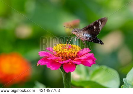 Closeup Of A Hummingbird Moth Pollinating A Bright Pink Zinnia Flower - Michigan