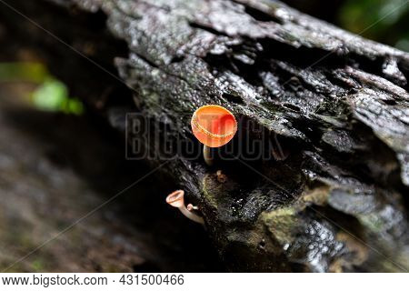 Close Focus On Blooming Pink Champagne Mushroom Called Pink Burn Cup Or Fungi Cup On Wet Wood Inside