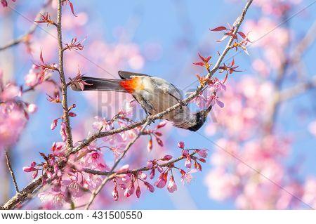 Sooty-headed Bulbul Bird Hanging Upside Down To Eat Nectar From Pink Flower Of Wild Himalayan Cherry