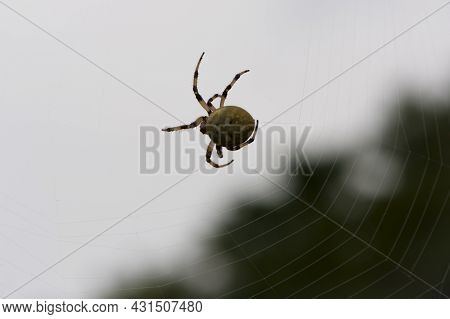 Araneus Quadratus. A Large Cross Spider Sits In Her Spider's Web And Lurks For Prey. Spider On A Web