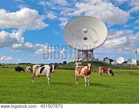 Cows in the meadow at large dish receivers for satellite communication in Burum The Netherlands