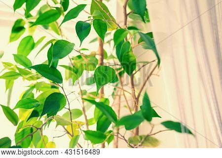 Close Up And Soft Focus Of Green Ficus Leaves Against The Background Of White Tulle Or Curtains In B