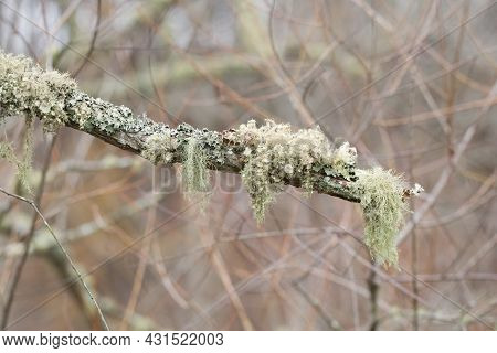 Variety Of Lichens Stringy And Hanging On Top Of Some Fungi Growing On A Tree Limb Together In The W