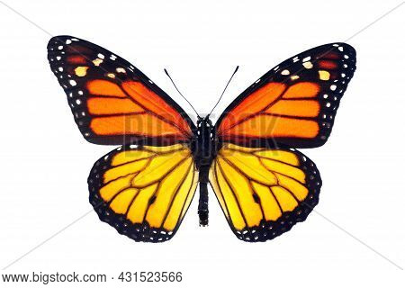 Monarch Butterfly With Lower Yellow Wings. Colorful Monarch Butterfly Isolated On White.