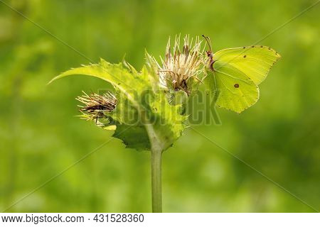 A Yellow Brimstone Butterfly Sitting On A Thistle Plant Growing In A Meadow On A Sunny Summer Day. G