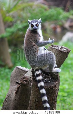 Lemur_with_invisible_glass