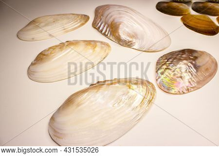 The Common Pearl Mussel Or European River Pearl Mussel (lat.margaritifera Margaritifera) Is A Specie