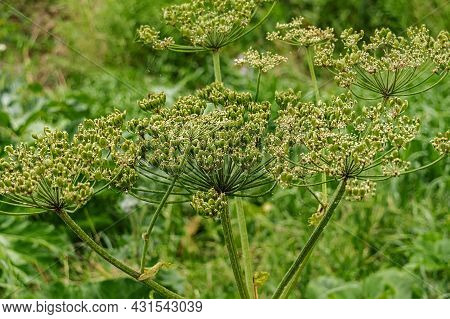Close-up Of A Weed-a Poisonous Hogweed On A Sunny Summer Day. A Malicious Weed Grows Along The Road.