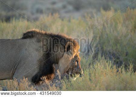 A Black Maned Lion In The Kalahari