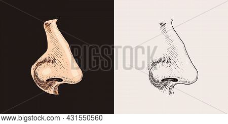 Human Nose. Sense Organ Anatomy Illustration. Engraved Hand Drawn In Old Sketch And Vintage Style. F