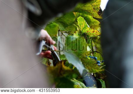 Defocus Woman Cutting Bunch Grape By Scissors. Red Wine Grapes On Vine In Vineyard, Close-up. Winema
