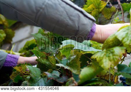 Defocus Woman Cutting Bunch Grape. Red Wine Grapes On Vine In Vineyard, Close-up. Winemaker Harvesti