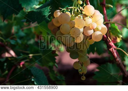 Tasty Sweet Grapes , Growing In Autumn . Riesling National Grape Of Germany