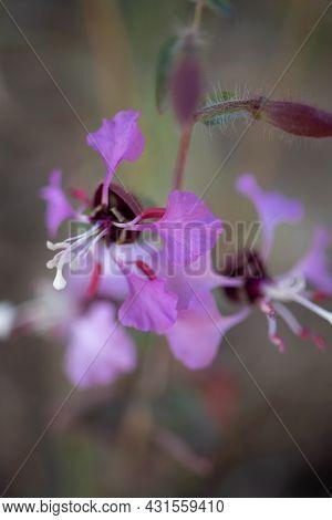 Purple Blooming Axillary Indeterminate Raceme Inflorescences Of Elegant Seasons Herald, Clarkia Ungu