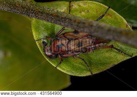 Adult Wedge-shaped Beetle Of The Genus Macrosiagon