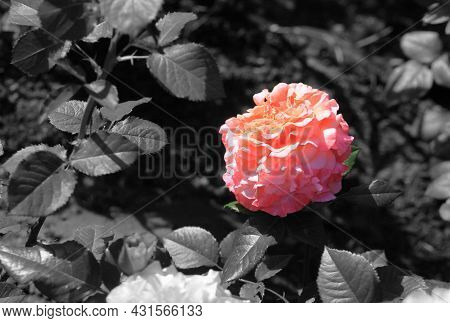 Art Photo Rose Petals Isolated On The Natural Blurred Background. Rose Flower Closeup. For Design, T