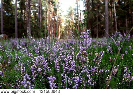 The Concept Of The Arrival Of Autumn Days. A Blooming Heather Glade Against The Background Of A Fore