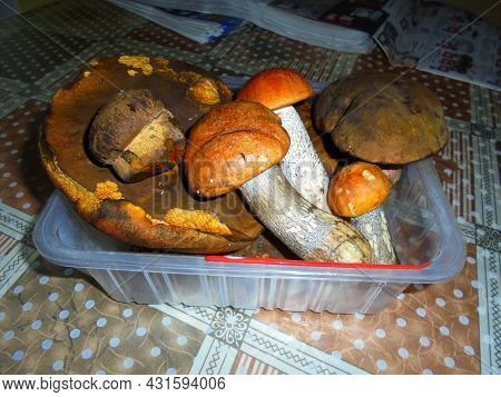 Several Picked Large Mushrooms Placed In A Plastic Box   Collected Specimen Of Fungi Boletus Luridif