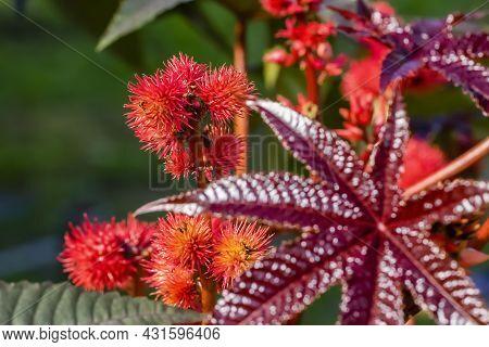 Beautiful Flowering Of The Garden Plant Castor In Summer.