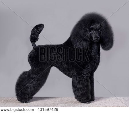 black little poodle stands in a rack on a gray background