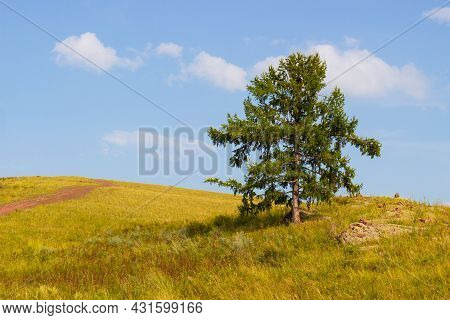 Summer Landscape Of Lonely Larch Against Blue Sky Background In The Green Steppe Of Khakassia, Russi