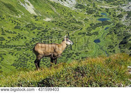 Tatra Chamois (rupicapra Rupicapra Tatrica) In Western Tatras Mountains, Slovak Republic. Animal The