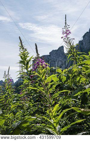Flowering Plants, Monkova Valley, Belianske Tatras Mountain, Slovak Republic. Seasonal Natural Scene