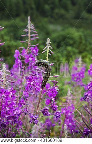 Big Caterpillar And Epilobium Angustifolium Flowers, Belianske Tatras Mountain, Slovak Republic. Sea