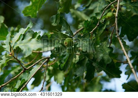 Oak Branch With Green Leaves And Acorns On A Sunny Day. Oak Tree In Summer. Blurred Leaf Background.