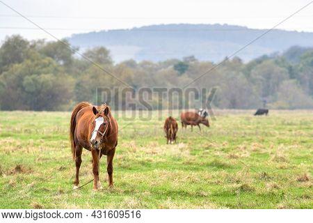 Beautiful Chestnut Horse Grazing In Summer Field. Green Pasture With Feeding Farm Stallion.