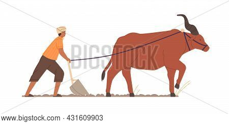 Indian Farmer Plowing With Traditional Primitive Plough And Ox. Farm Worker And Zeby On Agriculture