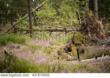 Fabulous Edge Dotted With Purple Heather Flowers In A Quiet Forest